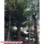 Mua Cây Cổ Thụ Tại Hà Nội Khỏe Mạnh Từ Vườn – Hỏi Đáp Là Gì BT