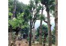 Mua Cây Công Trình Tại Hà Nội